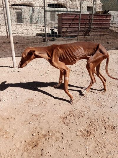 Starving galgo in hunter pen 400 29 6 2017