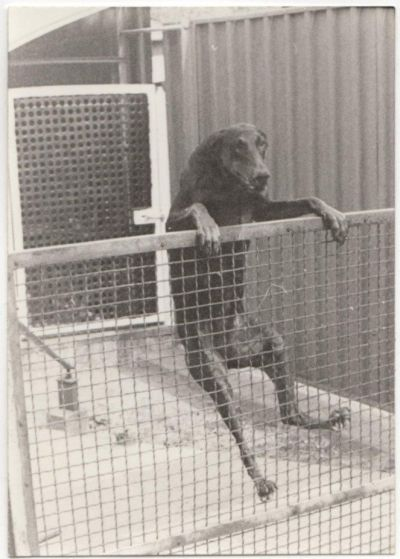 Escaping dog over fence 400