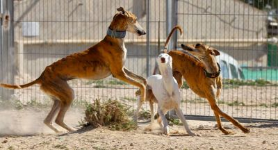 Podenci Friends galgos 400 1 21 2 2018
