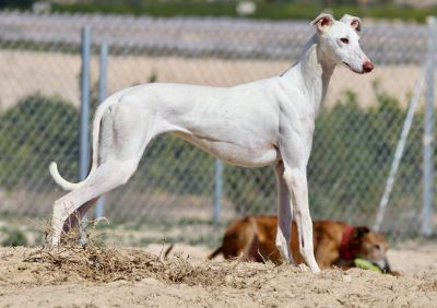Podenco Friends galgos 2 400