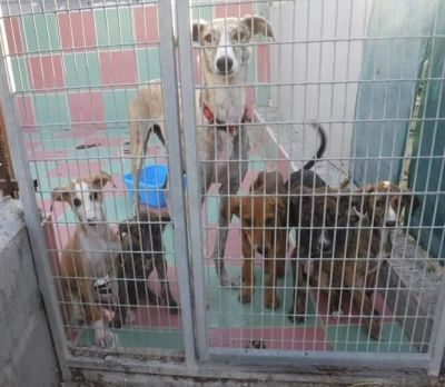 Scooby Pachanga and 5 puppies 400 6 2018
