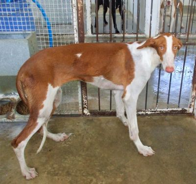 Podenco friends perrera 400 30 7 2018
