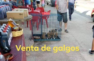 Lorca market galgo puppies 400 5 7 2018
