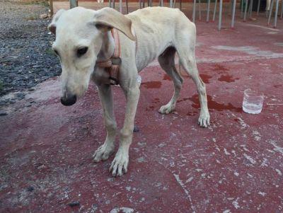 Huelva starving galgo puppy 400 7 2018