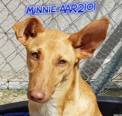 Axarquia Animal Rescue Podenco For Adoption Podenco Post