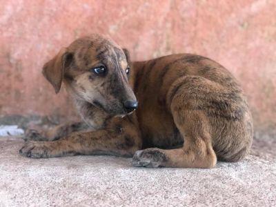 Refugio Adopta galgo puppy 2 400