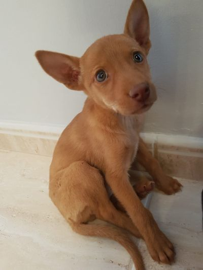 Gran Canaria podenco puppy 400 5 2019