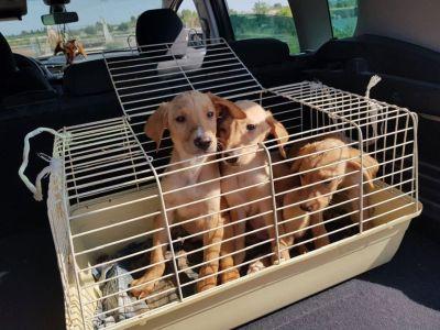 3 podenco puppies 400 7 2019