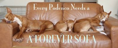 Bev podencos need a sofa 400