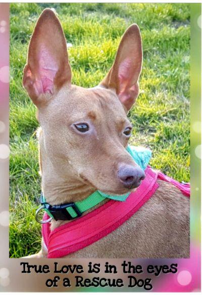 Podenco Rescue Dog poster crop 400