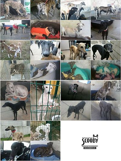 Scooby galgos 400 12 2019