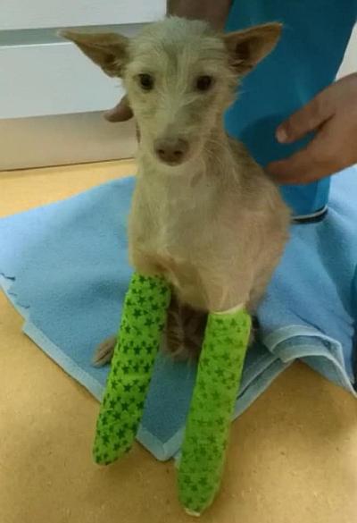 Galgos112 pup legs 400