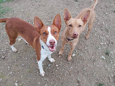 SOS Podenco Rescue 2 girls 400 12 2020