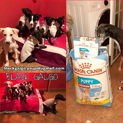 Black Galgo puppies 400 1 2021