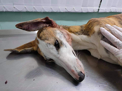 Scooby injured galgo 400 1 11 2020