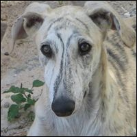 Galgo two