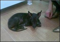 Gaglo puppy