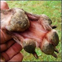 Pemphigus Foliaceus In Dogs Natural Treatment
